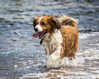 Psi bieg i Bawić się Fotografia Royalty Free
