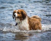 Psi bieg i Bawić się Zdjęcia Royalty Free