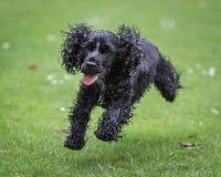 Psi bieg i Bawić się Zdjęcia Stock