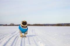 Psi bieg na śnieżystej drodze w zimie niebieski ubrany pug Zdjęcie Royalty Free