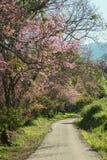 Psi bieg na drogowym mieć różowych pięknych Himalajskich czereśniowych drzewa wzdłuż brukującego, Khun Wang, Doi inthanon, Chiang fotografia royalty free