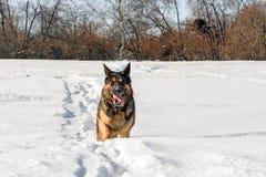 Psi bieg na śniegu Obrazy Stock