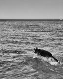 Psi bieg Out W jezioro zdjęcia royalty free