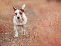 Psi bieg przy jesienią Obraz Royalty Free