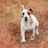 Psi bieg przy jesienią Fotografia Royalty Free