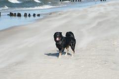 Psi bieg przy plażą w Ustka Obrazy Stock