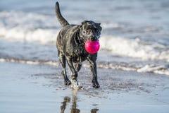 Psi bieg w dennej przewożenie piłce z kopii przestrzenią, Zdjęcie Royalty Free
