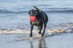 Psi bieg w dennej przewożenie piłce z kopii przestrzenią, Fotografia Stock