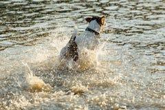 Psi bieg w wodzie morze Obraz Royalty Free