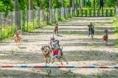 Psi biegowy moment - koniec dla małpich jazda psów fotografia royalty free