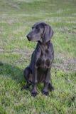 psi bluesowy weimaraner Fotografia Stock