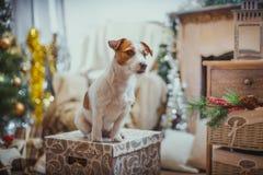 Psi boże narodzenia, nowy rok, Jack Russell Terrier Zdjęcie Stock