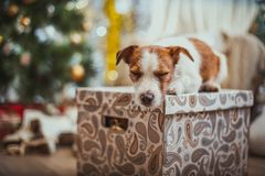Psi boże narodzenia, nowy rok, Jack Russell Terrier Obraz Royalty Free