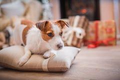Psi boże narodzenia, nowy rok, Jack Russell Terrier Zdjęcia Royalty Free