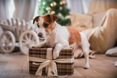 Psi boże narodzenia, nowy rok, Jack Russell Terrier Obrazy Stock