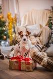 Psi boże narodzenia, nowy rok, Jack Russell Terrier Obrazy Royalty Free