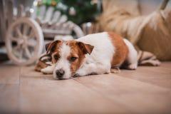 Psi boże narodzenia, nowy rok, Jack Russell Terrier Obraz Stock