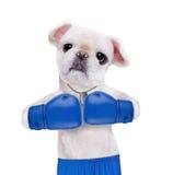 Psi bokser z dużymi błękitnymi rękawiczkami zdjęcie stock