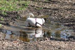 Psi borowinowy skąpanie fotografia royalty free