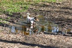 Psi borowinowy skąpanie zdjęcia stock