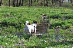 Psi borowinowy skąpanie zdjęcia royalty free