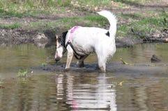 Psi borowinowy skąpanie obrazy stock