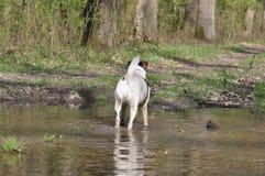 Psi borowinowy skąpanie fotografia stock