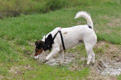Psi borowinowy skąpanie zdjęcie royalty free