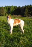 psi borzoi young obrazy stock