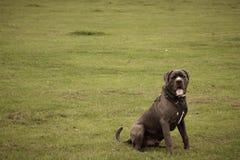 Psi brać oddech Zielony t?o zdjęcia stock
