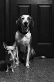 Psi bracia obraz royalty free