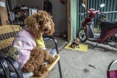 Psi być ubranym odziewa w kawiarni w Vietnam fotografia royalty free