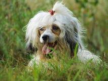 Psi Chiński czubaty Obraz Stock