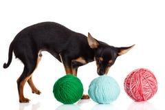 Psi chihuahua i piłka odizolowywająca na białym tle nić Obrazy Stock