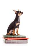 Psi chihuahua na książkach odizolowywać na białym tle Zdjęcie Stock