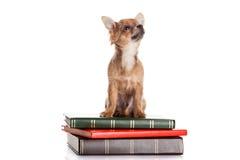 Psi chihuahua na książkach odizolowywać na białym tle Zdjęcia Stock