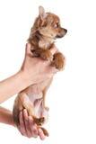 Psi chihuahua na rękach odizolowywać na białym tle Zdjęcia Royalty Free