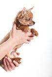 Psi chihuahua na rękach odizolowywać na białym tle Obrazy Stock