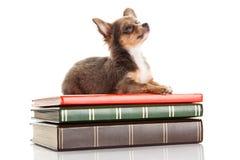 Psi chihuahua odizolowywający na białej tło książki wiedzie zdjęcia stock