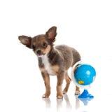 Psi chihuahua odizolowywający na białej tło kuli ziemskiej Fotografia Royalty Free