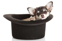 Psi chihuahua w klasycznym kapeluszu odizolowywającym na białym tle fotografia royalty free
