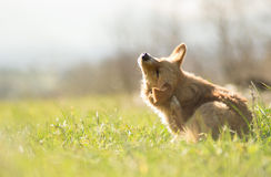 Psi chrobot jego ucho obraz stock