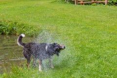 Psi chwianie z wody po pływać w lokalnym jeziorze Fotografia Stock