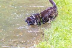 Psi chwianie z wody po pływać w lokalnym jeziorze Obrazy Stock