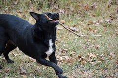 Psi chwyta kij Zdjęcia Royalty Free