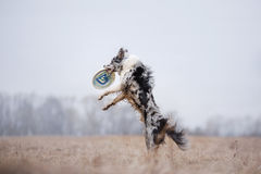Psi Chwytający Latający dysk Zdjęcia Stock