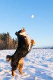 Psi chwytający snowball Fotografia Royalty Free