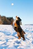Psi chwytający snowball Zdjęcie Royalty Free