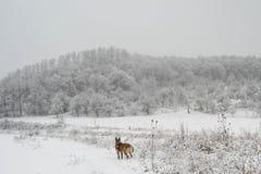 Psi cieszący się zimy ciszę zdjęcia stock