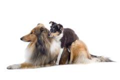 psi collie, szczeniak szkocką zdjęcia royalty free